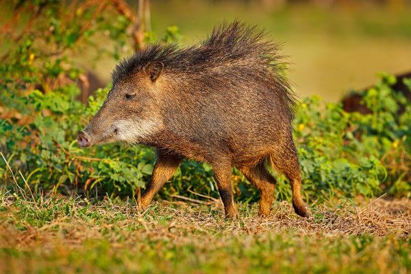 Queixada é um animal que se alimenta de frutos e de pequenos animais.