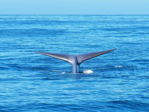 A baleia-azul é um mamífero que já foi muito ameaçado pela caça.
