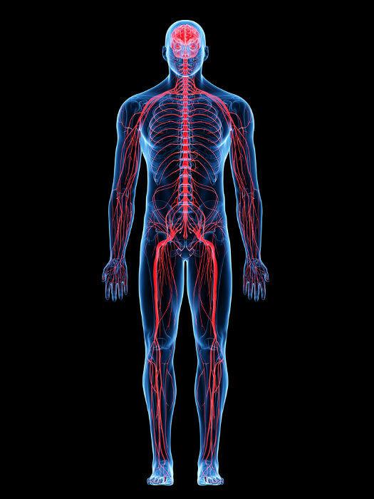 O sistema nervoso periférico é constituído por nervos, gânglios e terminações nervosas.