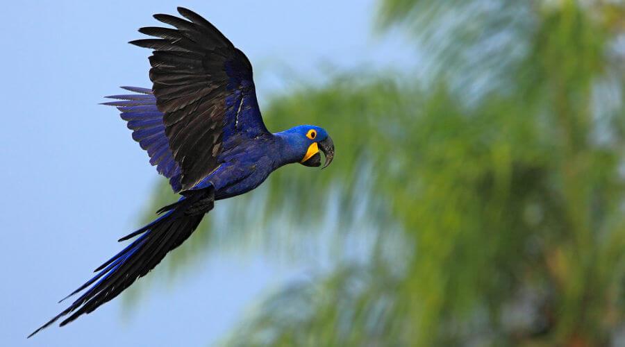 A arara-azul é um exemplo de ave que não é considerada um pássaro.