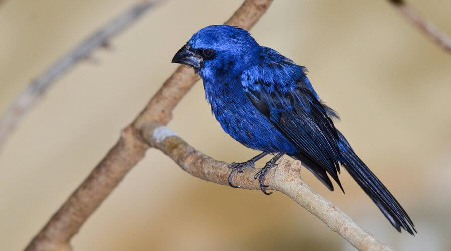 O azulão é um exemplo de ave da ordem Passeriforme.