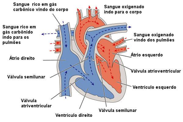 Observe como ocorre o fluxo de sangue no coração.
