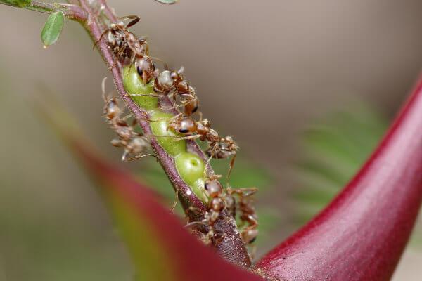 As formigas protegem a acácia, enquanto a planta fornece nutrientes para as formigas.