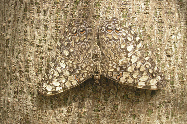 Observe como a coloração da borboleta confunde-se com o tronco.