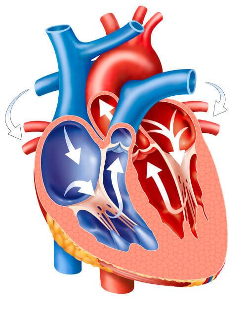 Observe atentamente as setas e perceba o caminho percorrido pelo sangue dentro do coração.