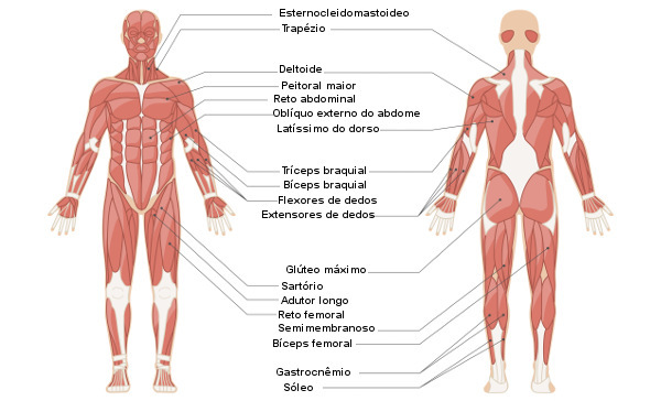 Sistema Muscular Tipos E Funções Dos Músculos Brasil Escola