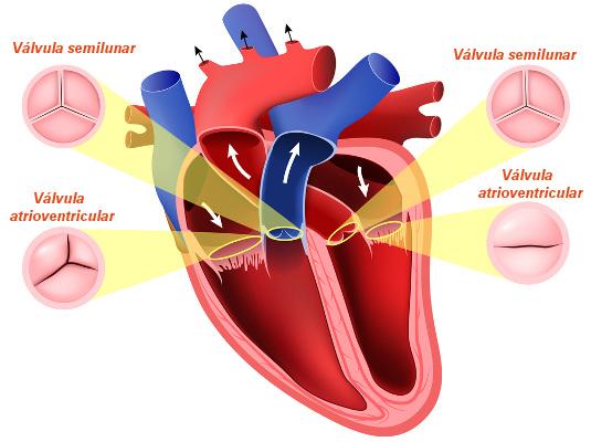 Observe as quatro válvulas encontradas no coração.