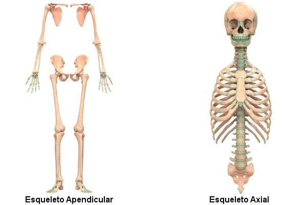 Observe as estruturas que formam o esqueleto apendicular e o axial.