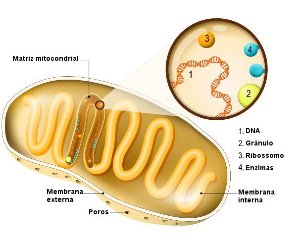 Observe atentamente as principais partes de uma mitocôndria.