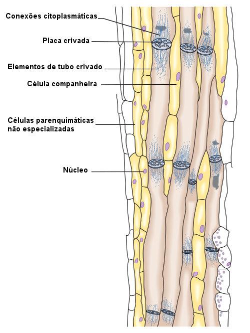 Observe os tipos celulares observados no floema.