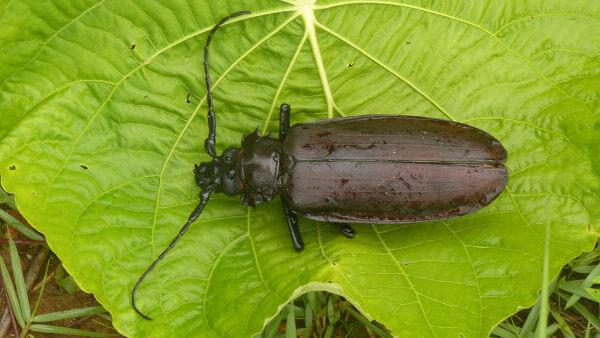 Titanus giganteus é uma espécie de inseto que se destaca pelo seu grande tamanho.