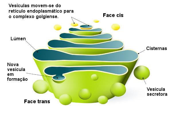 Observe as cisternas que formam o complexo golgiense e a face cis e trans dessa organela.