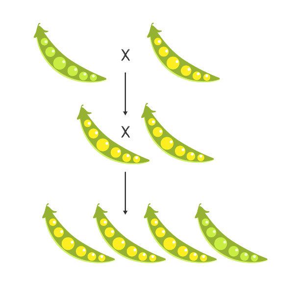 Mendel realizou cruzamento com as ervilhas e percebeu que as sementes amarelas eram determinadas por fatores dominantes.