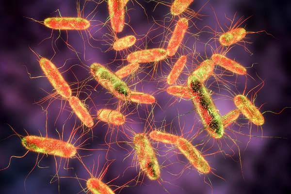 As bactérias do gênero Salmonella são bastonetes gram-negativos.
