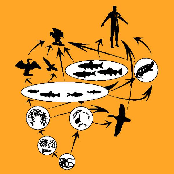 Nas teias alimentares observamos várias cadeias alimentares interligadas.