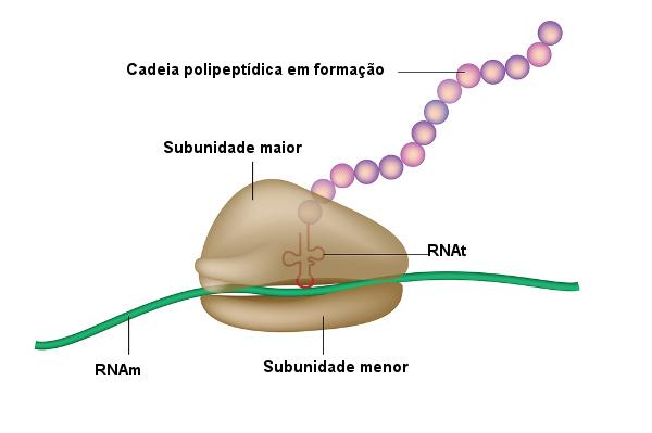 O ribossomo só é funcional quando temos as subunidades unidas.