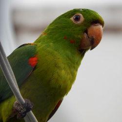 Ave Maracanã-Guaçu, espécie que habitava a região do estádio. [4]