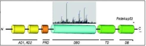 Domínios AD1 e AD2 são responsáveis pela ativação do gene; domínio PRD tem papel na atividade supressora da p53; domínio DBD é o de ligação ao DNA; domínio TD atua na oligomerização das subunidades de p53; domínio DB participa na regulação da proteína. Acima do domínio DBD encontra-se o gráfico que mostra a frequência dos hot spots, nesse domínio.